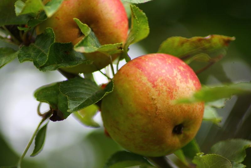 Organic Cox Apples