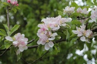 Cox Apple Tree