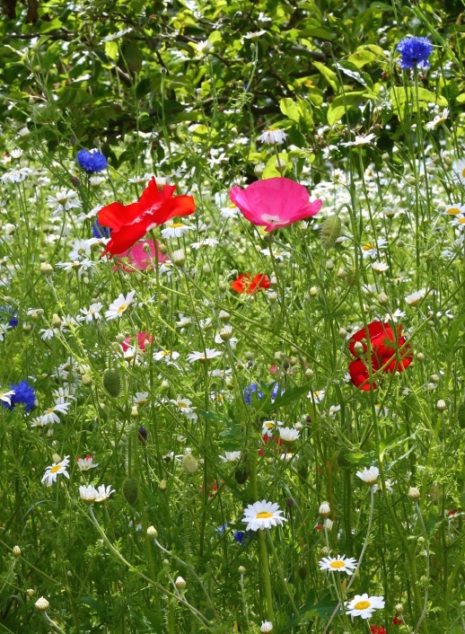 wild poppies and daisies
