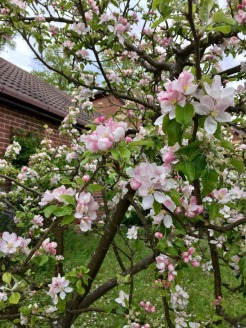 appleBlossoms_28April17