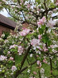 appleBlossoms_28April17